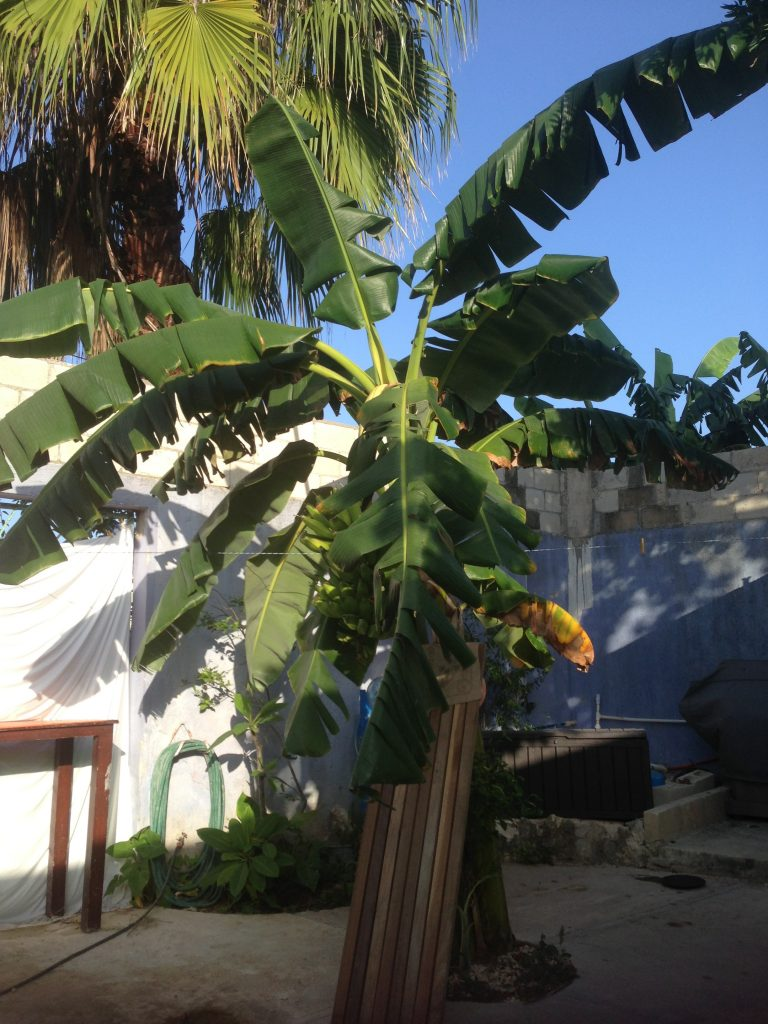 Our temporary shower under the banana tree.